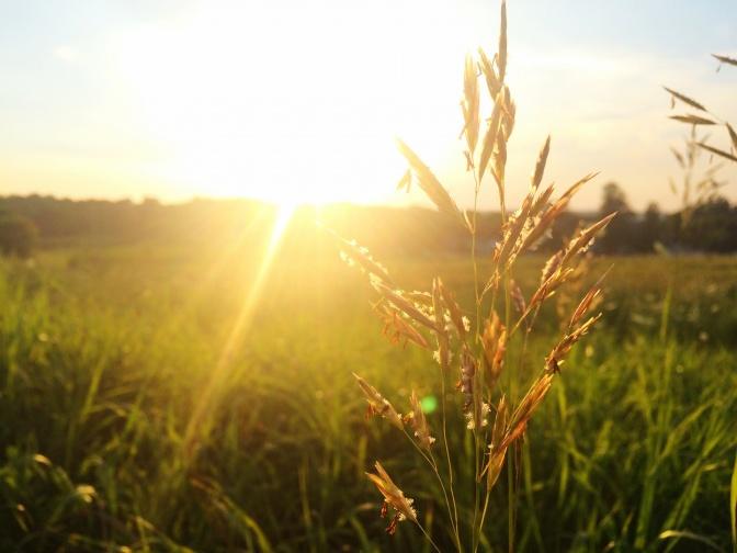 Getreidehalm vor einem Feld im Sonnenuntergang
