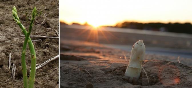 Grüner Spargel und weißer Spargel wachsen auf einem Feld