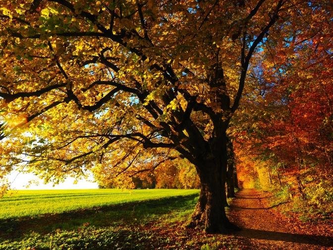 Baum im gelben herbstlichen Laub. Im Hintergrund eine grüne Wiese im Sonnenschein