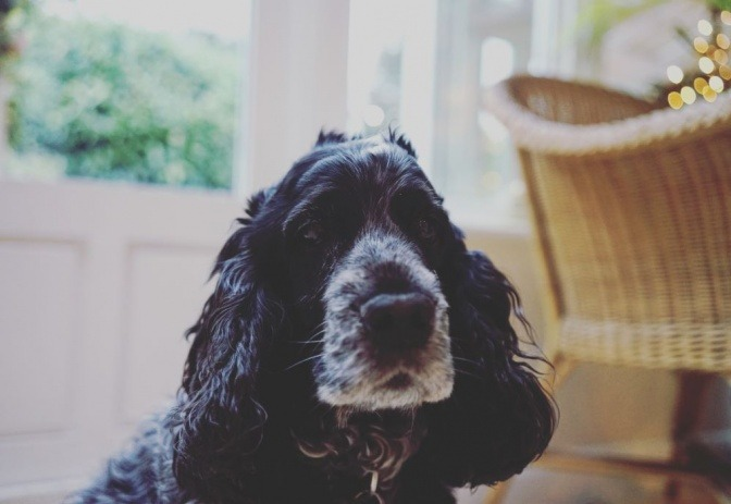 Ein schwarzer alter Hund hat eine weiße Schnauze