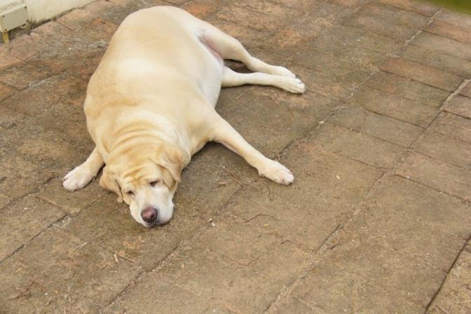 Ein dicker Hund liegt am Boden