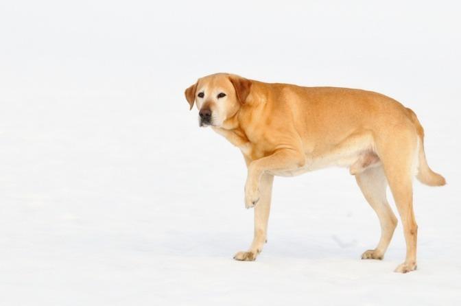 Ein Labrador hat Schmerzen in seiner Pfote