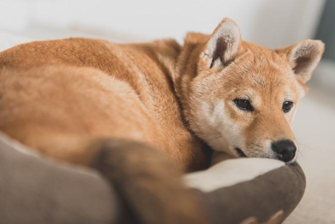 Ein brauner Hund liegt im Hundekorb