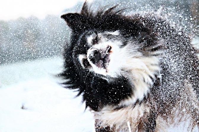 Ein Hund schüttelt sein schneebedecktes Fell