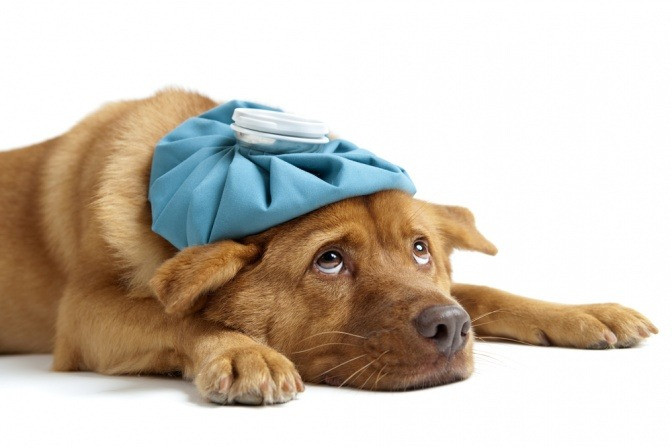 Ein kranker Hund hat einen Kühlbeutel am Kopf