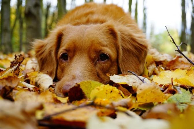 Ein Hund liegt im Laub