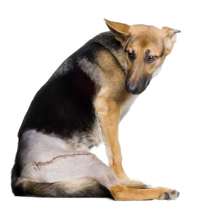 Ein Deutscher Schäferhund wurde an der Hüfte operiert