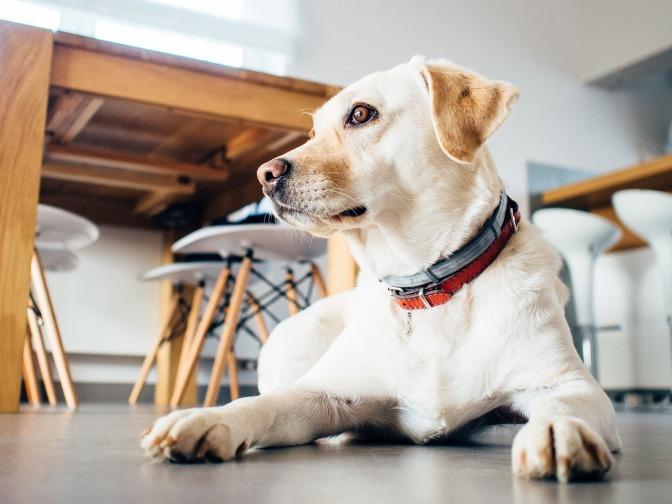 Ein Hund liegt geduldig in einem Raum mit vielen Sesseln