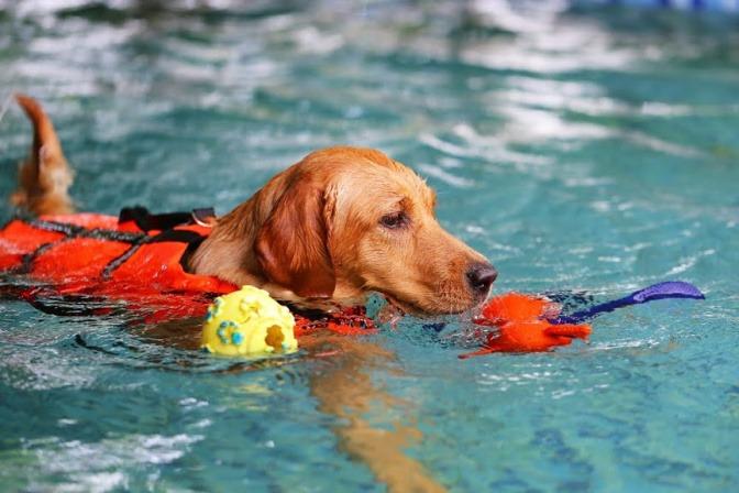Ein Hund schwimmt mit seinem Spielzeug im Maul