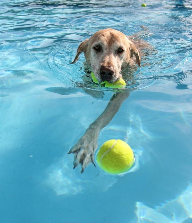 Ein Golden Retriever schwimmt im Wasser