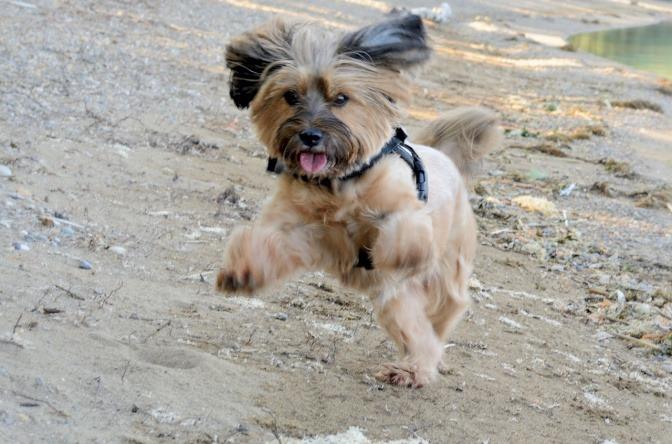 Kleiner Hund springt in die Luft.