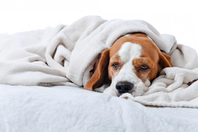 Ein kranker Hund liegt unter einer Decke