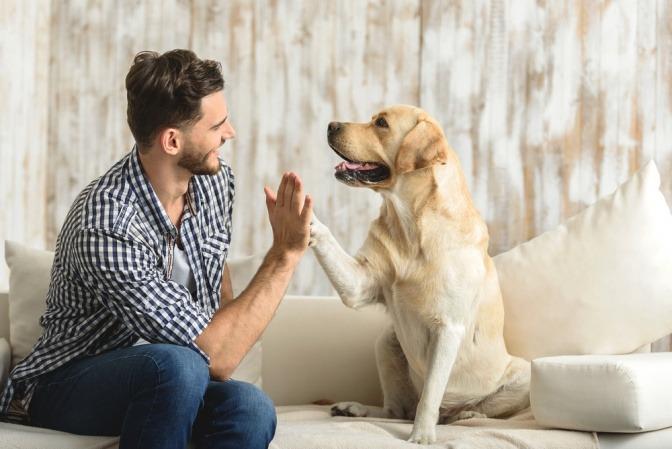 Ein heller Labrador gibt seinem Herrchen ein High Five.