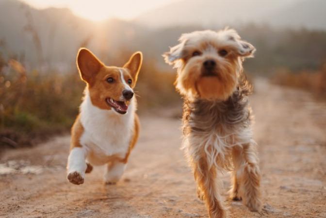 Ein Corgi und ein Yorkshire-Terrier laufen nebeneinander