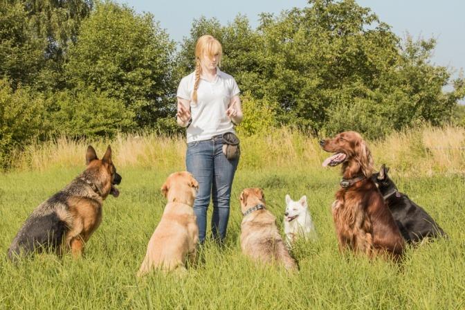 eine Gruppe von Hunden unterschiedlicher Rassen achtet aufmerksam auf eine Hundetrainerin.