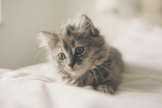 Eine junge Katze liegt auf einem weißen Tuch
