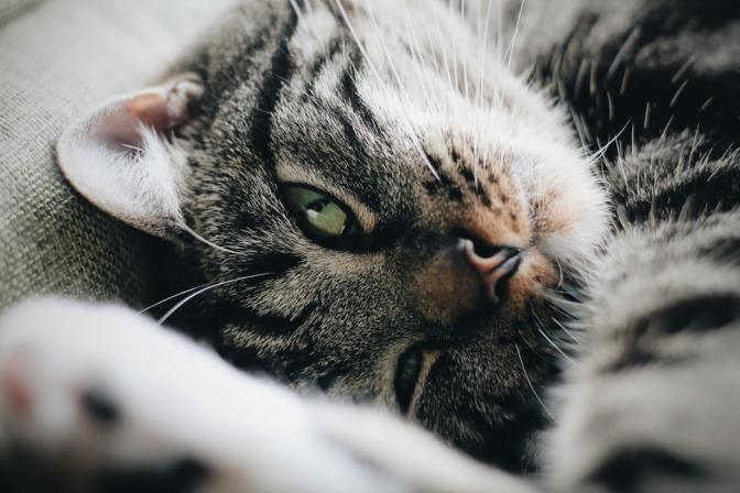 Eine Katze mit grünen Augen fühlt sich sichtlich wohl