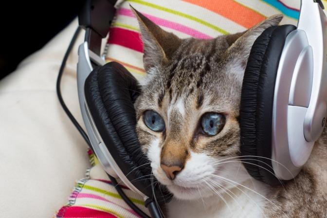 Eine Katze mit riesigen Kopfhörern über ihren Ohren.