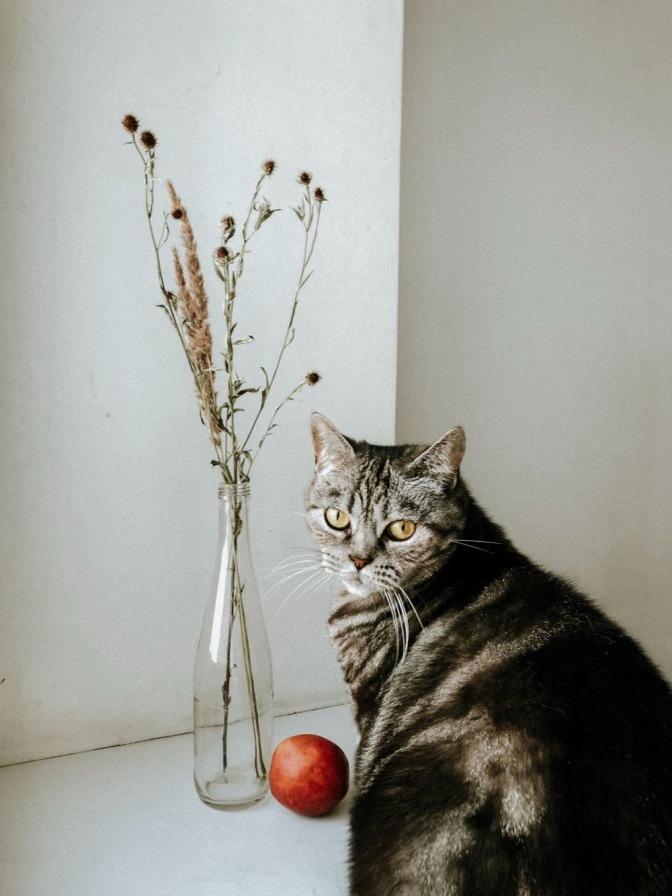 Eine graue Katze sitzt neben einer Vase und einem roten Apfel