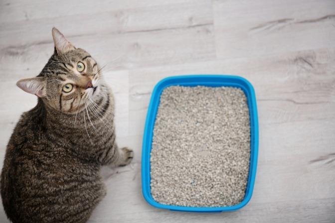 Eine Katze sitzt neben ihrem Katzenklo und blickt fragend zu ihrem Halter hinauf.