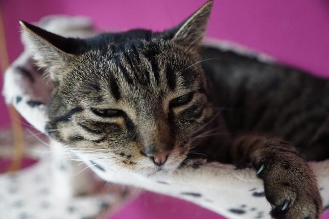 Eine grau-gestreifte Katze liegt in ihrem kleinen Katzenbett und blickt schläfrig in die Kamera.