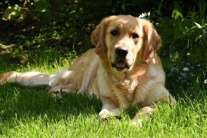 Ein Hund liegt im kurzen Gras mit wenig Risiko für Grasmilben