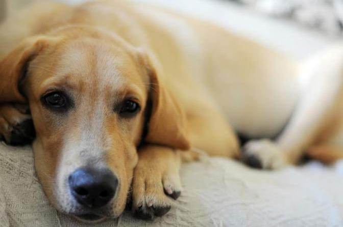 Ein Labrador liegt auf einer Couch