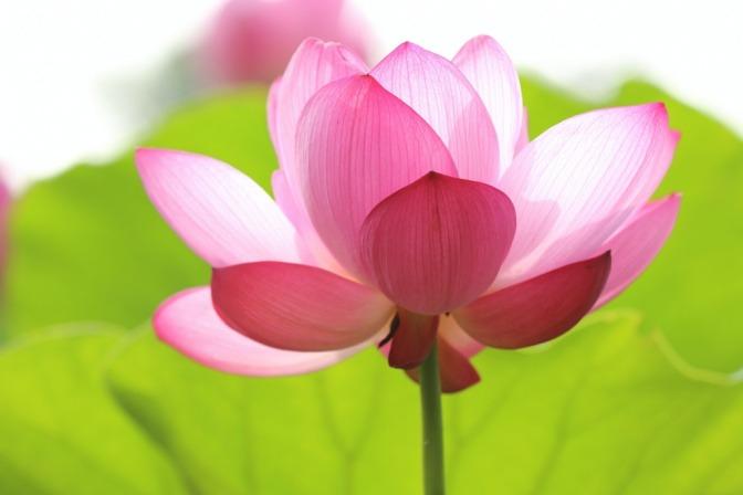Foto einer pinkfarbenen Lotusblume, die kurz vor der Blüte steht.