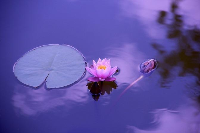 Eine Lotusblüte im Wasser strahlt Ruhe und Harmonie aus