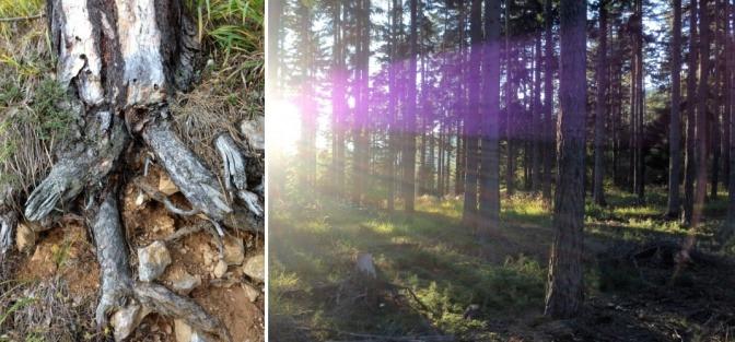In einem Wald sind Wurzeln zu sehen