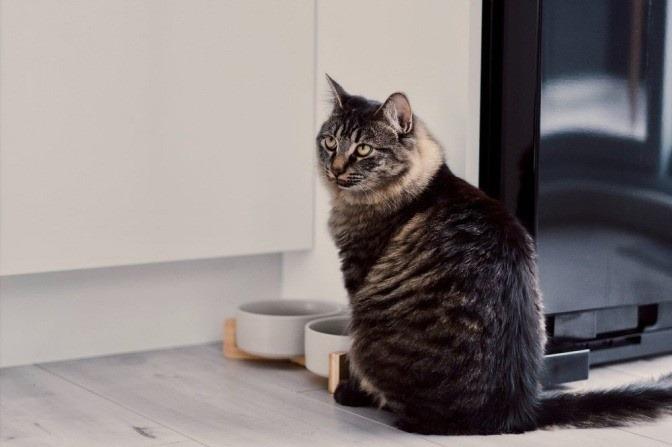 Eine graue Katze sitzt vor einem weißen Futternapf