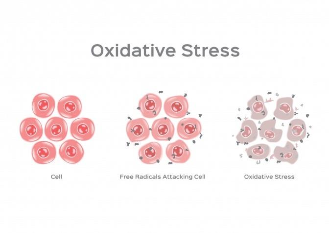 Wirkung von oxidativem Stress auf die Zelle