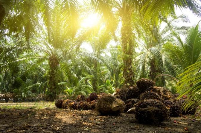 Plantage für Palmöl in der Kosmetik