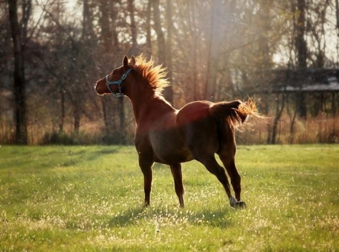 Ein Pferd galoppiert frei über eine grüne Wiese