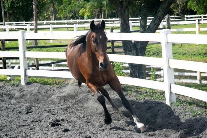 Ein Pferd läuft frei im Paddock