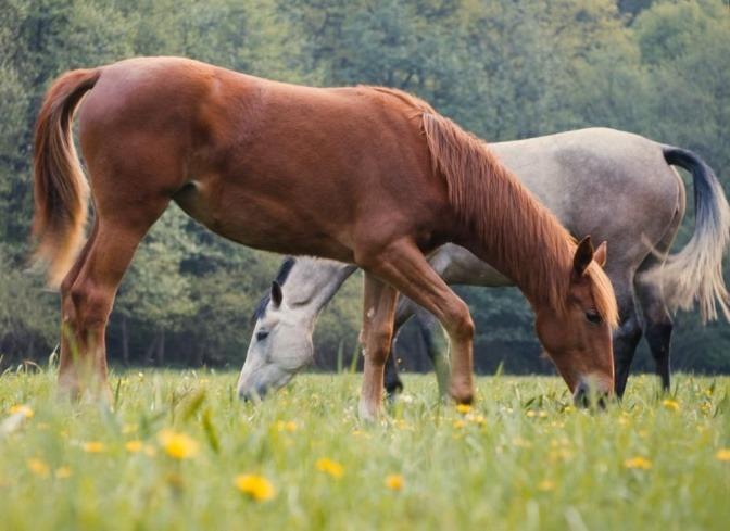 Zwei Pferde stehen nebeneinander auf der Wiese und fressen Gras