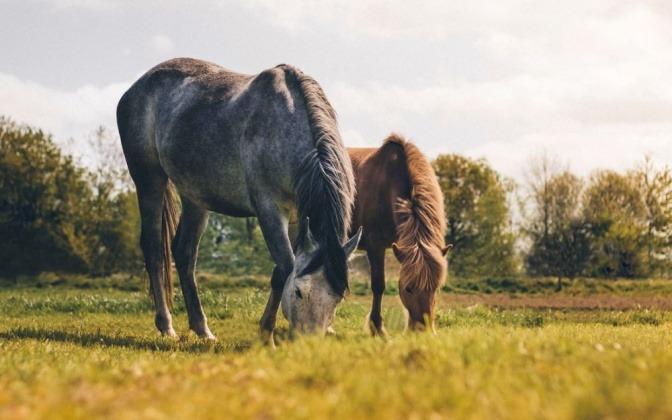 Zwei Pferde grasen nebeneinander auf einer grünen Wiese