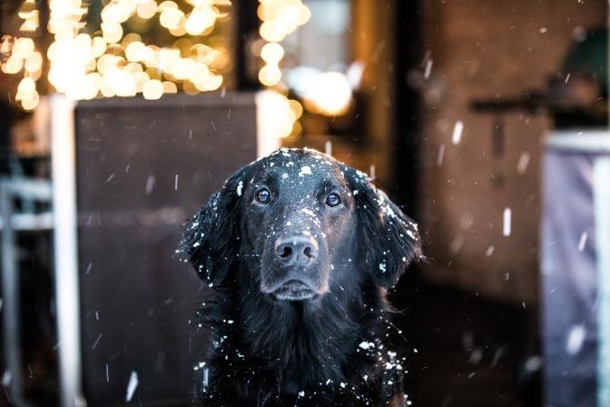 Ob dieser Labrador, der vor einem Geschäft im Schnee wartet, sich Gedanken zum Thema Pfotenpflege Hund Winter macht?