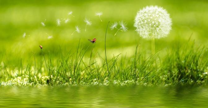 Auf einem Rasen sind Marienkäfer und Pusteblumen