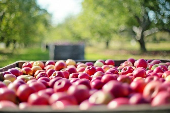 viele Äpfel liegen in einer Kiste, dahinter sind Bäume
