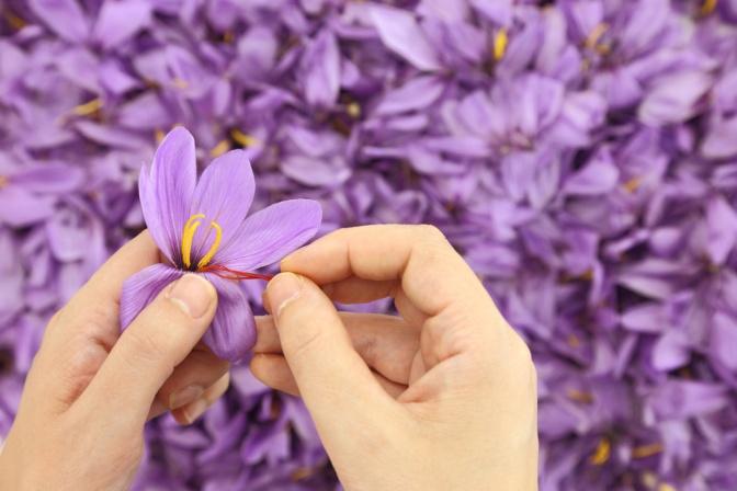 Hände verlesen Safranblüten