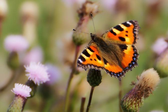 Ein Schmetterling fliegt