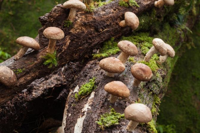 Welche Wirkung Shiitake-Pilz auf die Gesundheit haben