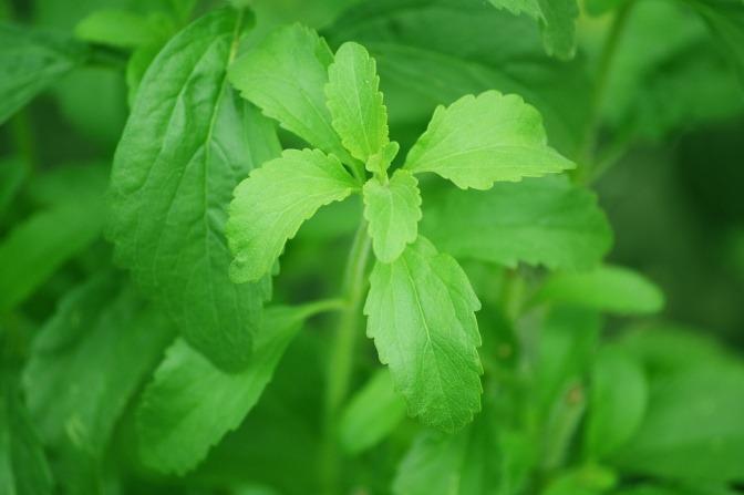 Stevia, hier dargestellt in seiner natürlichen Form als Blatt der Stevin-Pflanze sowie als gemahlenes Pulver, ist ein idealer Zuckerersatz zum Backen.
