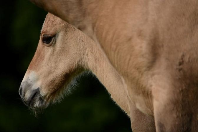 Der Kopf eines Fohlens schaut hinter einem Pferdekörper hervor