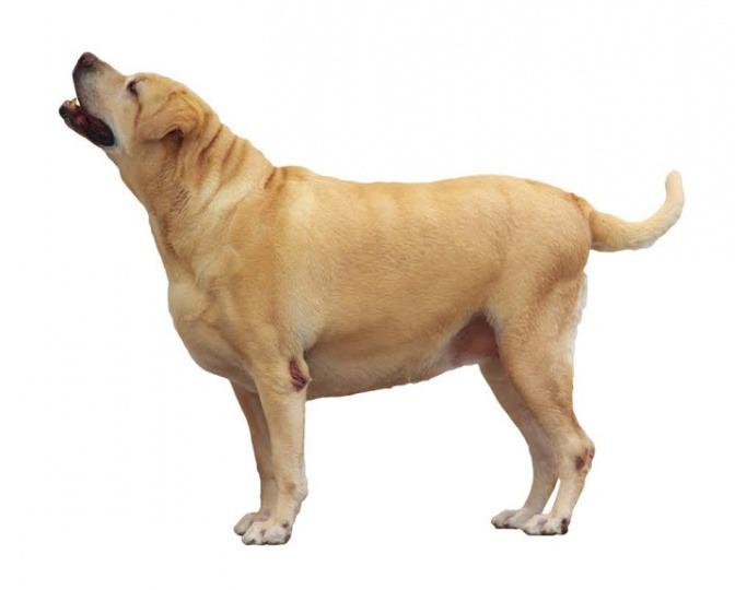 Ein Labrador ist stark übergewichtig