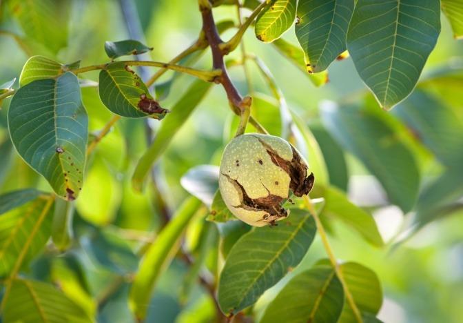 Auf einem Walnuss Baum hängt eine Nuss