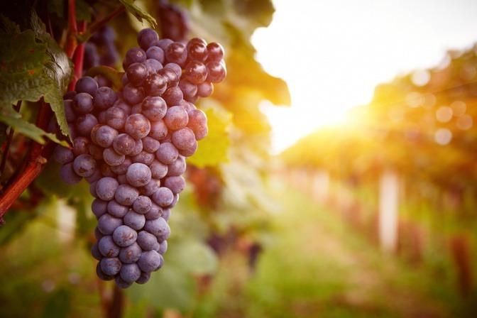 rote Weintrauben für Rotweinessig