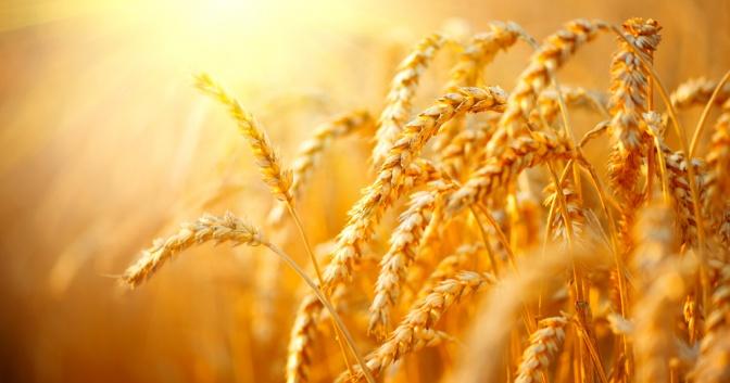 Auf einem Feld wächst Weizen