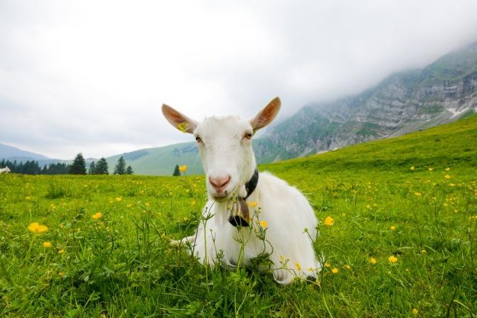 Eine Ziege in Appenzell